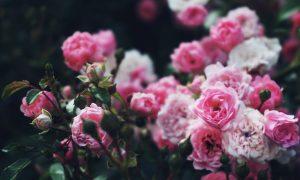 krzew rozowych roz